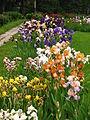 Irises in the Botanical Garden 01.JPG