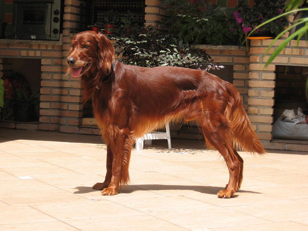 El setter irlandes es un perro extremadamente activo y sociable.