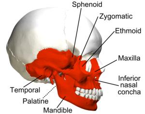 Irregular bone - Image: Irregular bones in skull lateral view with legend