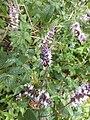 Isodontia mexicana 05.jpg