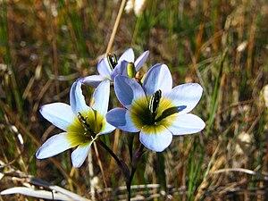Ixia monadelpha - Image: Ixia monadelpha (2)