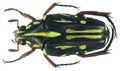 Ixorida (Mecinonota) nagaii Antoine, 1992 (8383673777).png