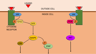 An example of the integration between JAK-STAT, MAPK/ERK and PI3K/AKT/mTOR signalling pathways. JAKs phosphorylate cytokine receptors which can bind a protein called Grb2, which activates MAPK signalling. MAPK can also phosphorylate STATs. Phosphorylated cytokine receptors can also be bound by PI3K proteins, which activates the PI3K pathway.