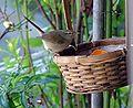 Japanese Bush Warbler.jpg