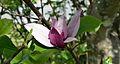 Japanese Maple Blossom.JPG