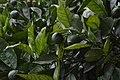 Jardim Botânico da Madeira DSC 0325 (14699946195).jpg