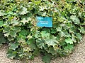 Jardin des simples de l'hôtel-Dieu de Tournus (Alchemilla vulgaris).jpg