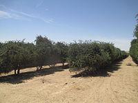 Jojoba plantation in Hatzerim, Israel (1).jpg