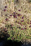Joshua Tree National Park flowers - Salvia columbariae - 1.JPG