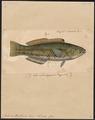 Julis umbrostigma - 1835 - Print - Iconographia Zoologica - Special Collections University of Amsterdam - UBA01 IZ13900129.tif
