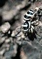 Jumping Spider (251117235).jpg