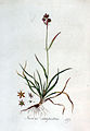 Juncus campestris — Flora Batava — Volume v3.jpg