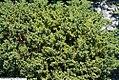 Juniperus procumbens Nana 1zz.jpg