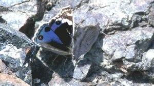 File:Junonia orithya - 2017-02-25.webm