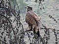 Junvenile Bald Eagle (15042806867).jpg
