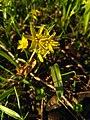 Křivatec žlutý (Gagea lutea), prvek jarního luhu.jpg