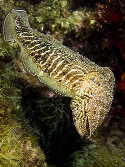 Photo of cuttlefish displaying narrow white bands on its upper side and tentacles hanging from its face