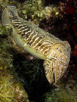 Cuttlefish - The white spots and bands on this cuttlefish are produced by leucophores.