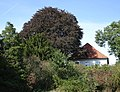 Kalkar ND 02 Till-Moyland Blutbuche am Pastorat PM19-01.jpg
