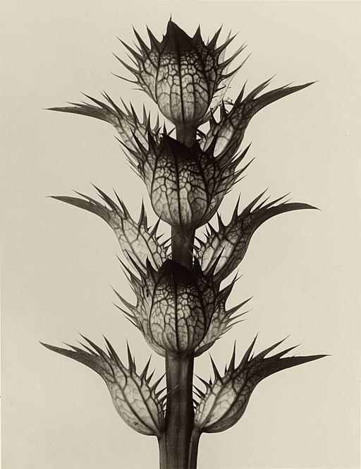 Karl Blossfeldt. Acanthus mollis, 1928