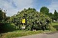 Karl Renner rose bush, Volksgarten, Vienna.jpg