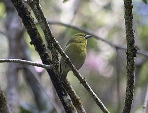 Kauaʻi ʻamakihi - Kauaʻi ʻamakihi Chlorodrepanis stejnegeri