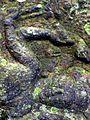 Kbal Spean - 013 Reclining Vishnu (8583644719).jpg