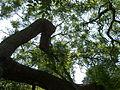 Kew Gardens Pagoda Tree P1170592.JPG