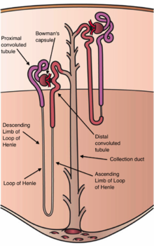 Kidney wikipedia diagram of a long juxtamedullary nephron left and a short cortical nephron right all parts of the nephron are labelled except the gray connecting ccuart