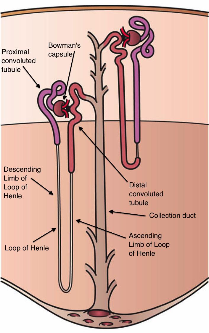 Kidney Nephron