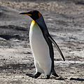 King Penguin on Saunders Island (5586832804).jpg