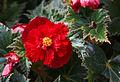 Knollenbegonie (Begonia) (15486729981).jpg