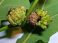 Knopper galls of Andricus quercuscalicis.jpg