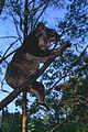 Koala (Phascolarctos cinereus) (10015041156).jpg