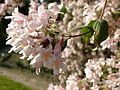 Kolkwitzia amabilis in Jardin des Plantes of Paris 02.jpg