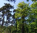 Konings eik (Quercus). Locatie, Kroondomein Het Loo.jpg