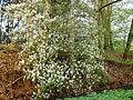 Krentenboompje (Amelanchier).JPG