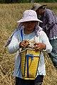 Kudat-District Rice-Harvesting-01.jpg