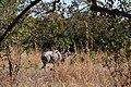 Kudu, Ruaha National Park (3) (28738150960).jpg