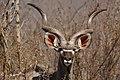 Kudu bull (50266650972).jpg