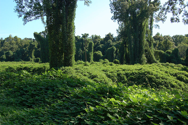 File:Kudzu field horz1.JPG