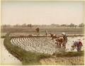 Kusakabe Kimbei - 287 Planting Rice.png