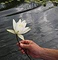 Kwiat Lotosu - panoramio.jpg