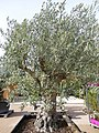 L'olivier - panoramio.jpg