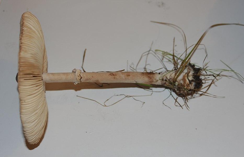 Lépiote mamelonnée (Macrolepiota mastoidea)
