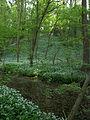 LSG Westlicher Steilhang des Rurtales Bärlauch (Allium ursinum) 4 DE-NW.jpg