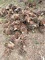 La récolte à Pobé.jpg