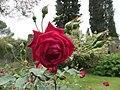 La rosa, la protagonista indiscussa del giardino.JPG