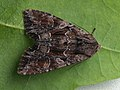 Lacanobia thalassina - Pale-shouldered brocade (40364929704).jpg