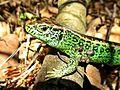 Lacerta agilis (Sand lizard) male, Molenhoek, the Netherlands.jpg